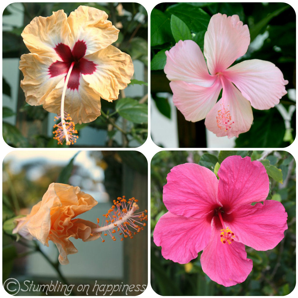 The expat files jamaica beautiful flowers hibiscus flowers izmirmasajfo