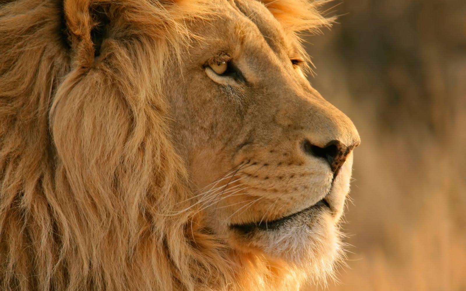 「ライオン 壁紙 mac」の画像検索結果