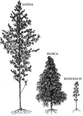 samen bestellen - cannabis sativa indica ruderalis