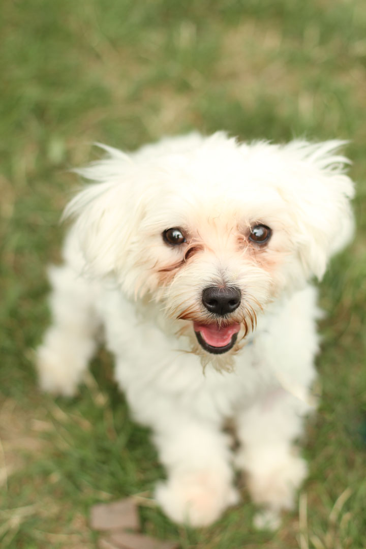 Bentley - Maltese Terrier mix