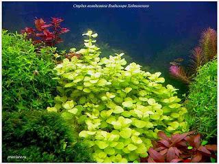 gambar-Lysimachia-Nummularia Green-Tanaman-Stem-Aquascape