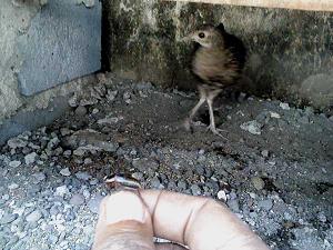 Pemberian Jangkrik Pada Ayam