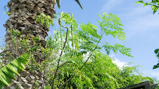 Moringa Tree With Pods