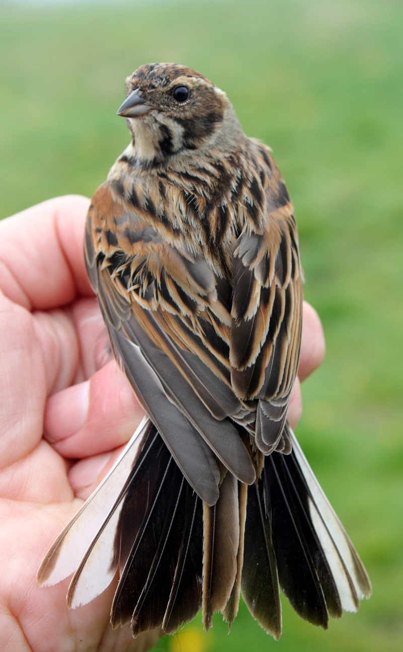 how to catch a hurt redwing blackbird