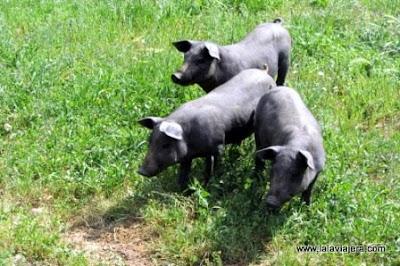 Cerdo Iberico, Sierra Morena