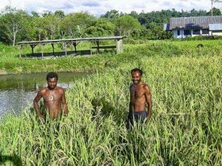 Info Pertanian Peternakan Distributor Pupuk Bersubsidi Provinsi Papua