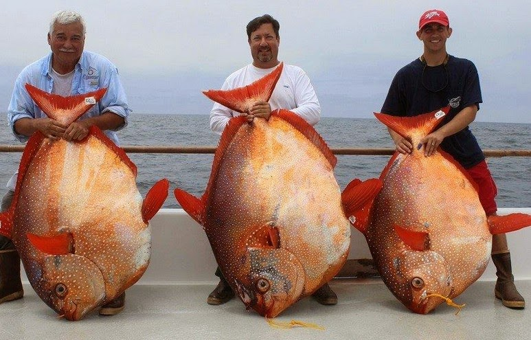 International fishing news us three opah caught at same time for 94 1 the fish