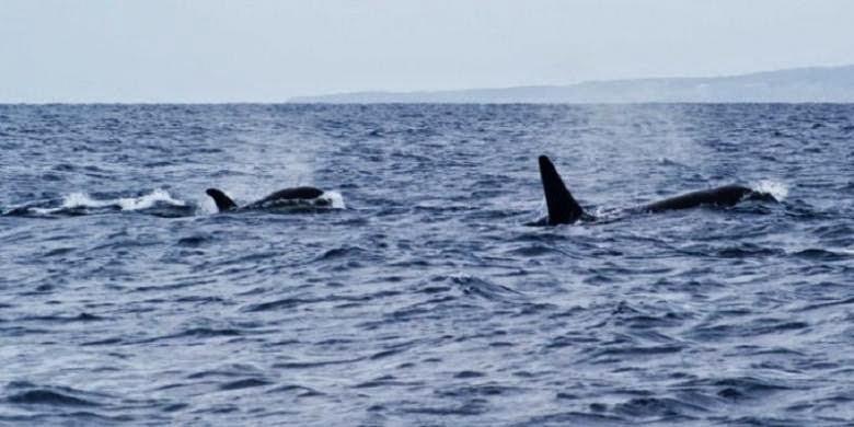Pertarungan sekawanan ikan paus di Australia