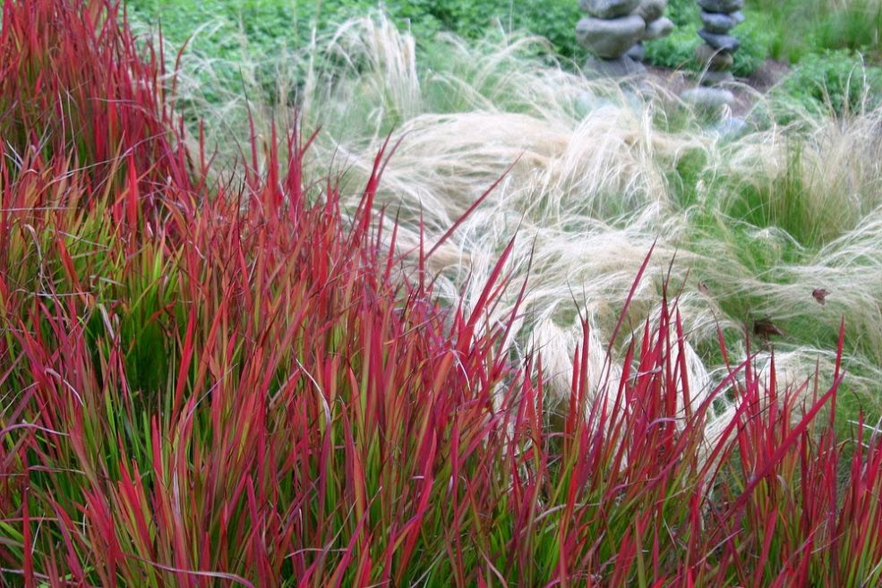 Japanese blood grass imperata cylindrica 39 red baron for Perennial grasses red