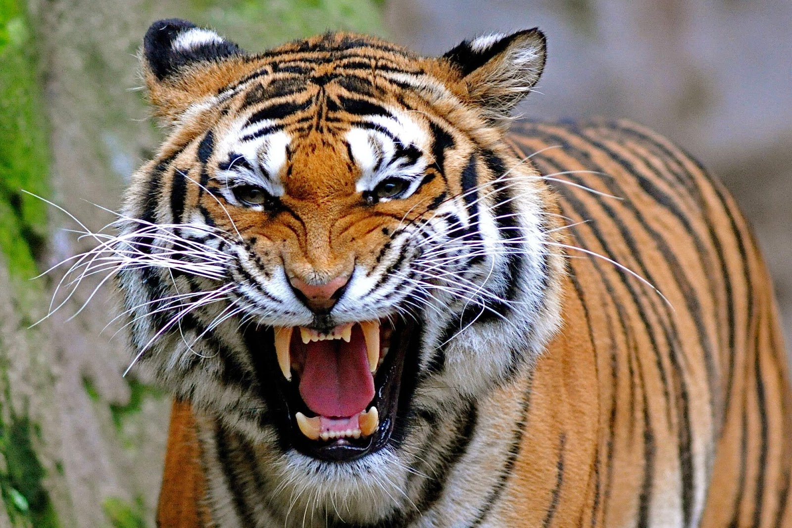 Desktop Hd Wallpapers Free Downloads Angry Tiger Hd Wallpapers