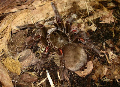 World's Biggest Real Spiders