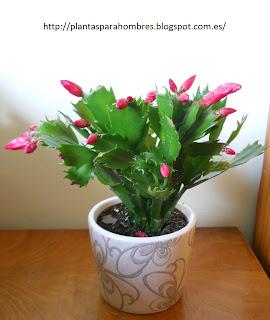 Schlumbergera Truncata o Cactus de Navidad o cactus de Pascua