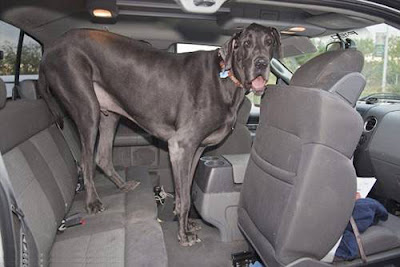 Giant_George_The_Tallest_Largest_dog_Tucson