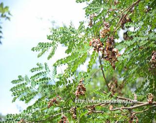 Saga Plant