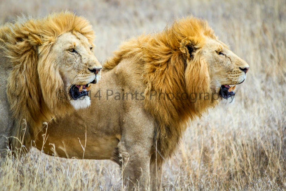 A Couple of Lions at Serengeti National Park
