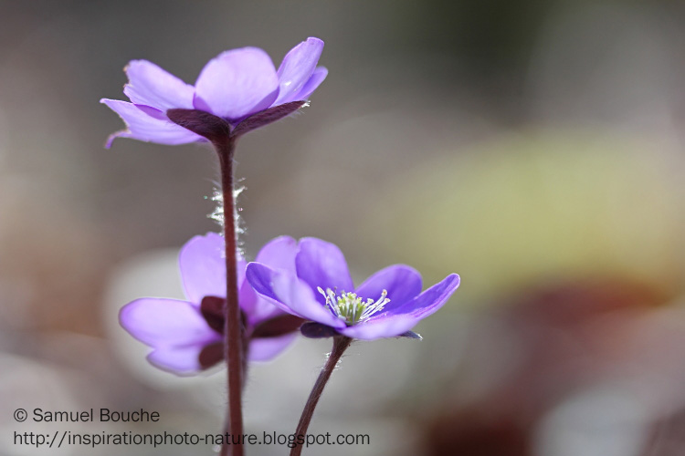 anémone hépatique macro fleur violette
