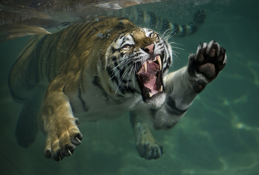 Hd Tiger Pictures Tiger Wallpapers Hd Animal Wallpapers