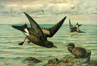 Hydrobatidae paiño boreal Oceanodroma leucorhoa