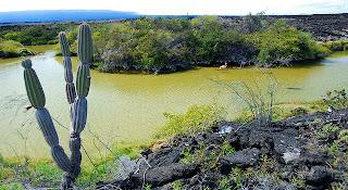 Punta Moreno Showing Pahohoe Lava Formations, Flamingo, Cacti and Mangroves, Isabela Island, Galapagos