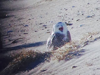 Snowy Owl, Sandy Hook, Hidden New Jersey