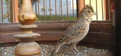 Gambar Cara Merawat Burung Branjangan