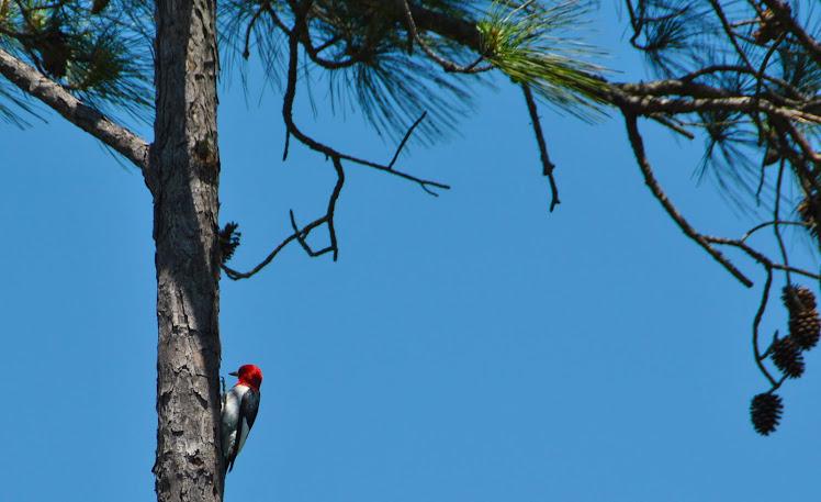 nc redheaded woodpecker