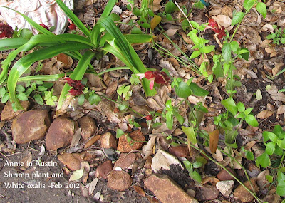 AnnieinAustin, Shrimp Plant Justicia brandageana
