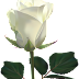 Awesome White Rose photos