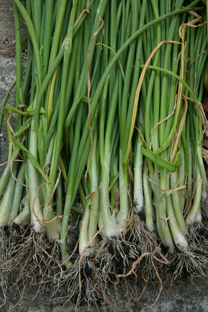 Some good-looking green onions. - He Started With Some Boxes, 60 Days Later, The Neighbors Could Not Believe What He Built