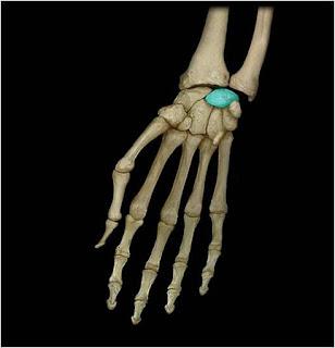 Полулунная кость os lunatum