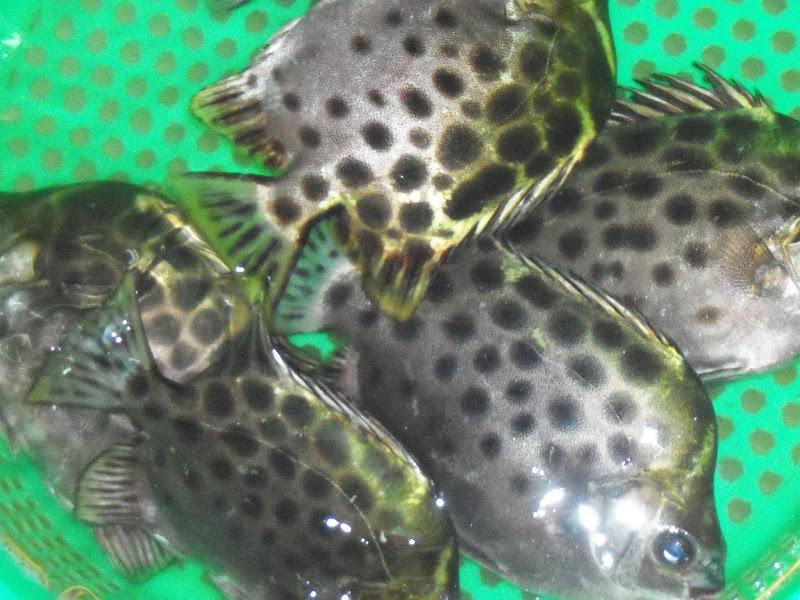 Unique original old shekou 39 s wet market for Puffer fish florida
