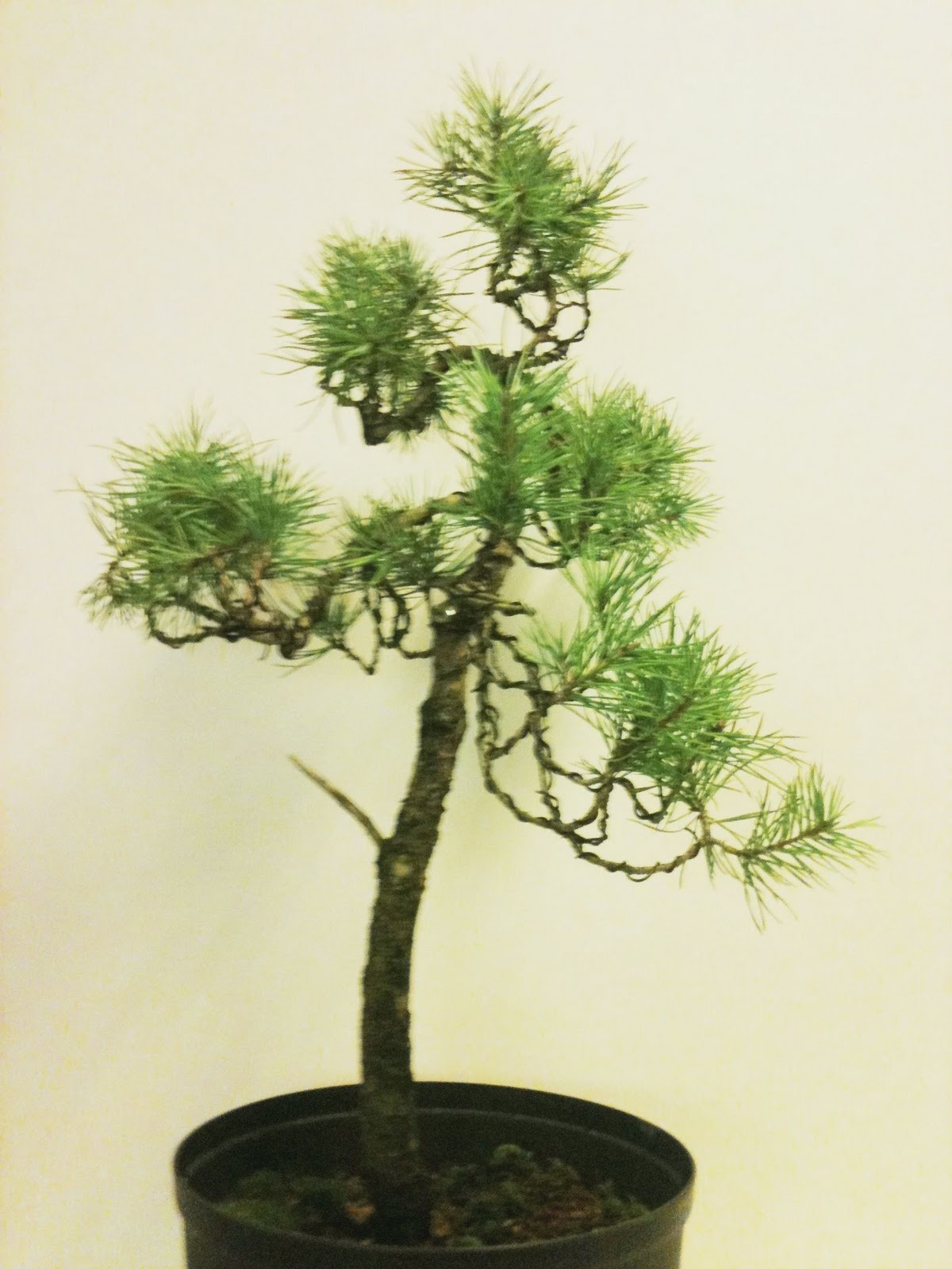 My Bonsai February 2011