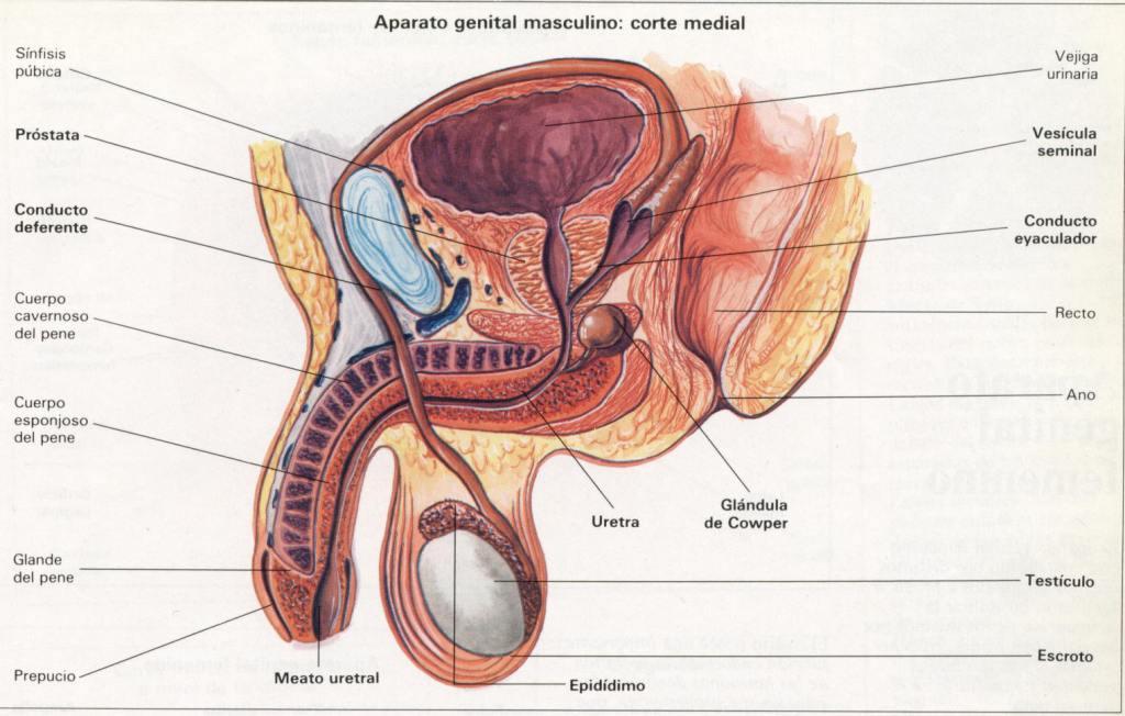 Semiología Quirúrgica (UTESA): aparato reproductor masculino
