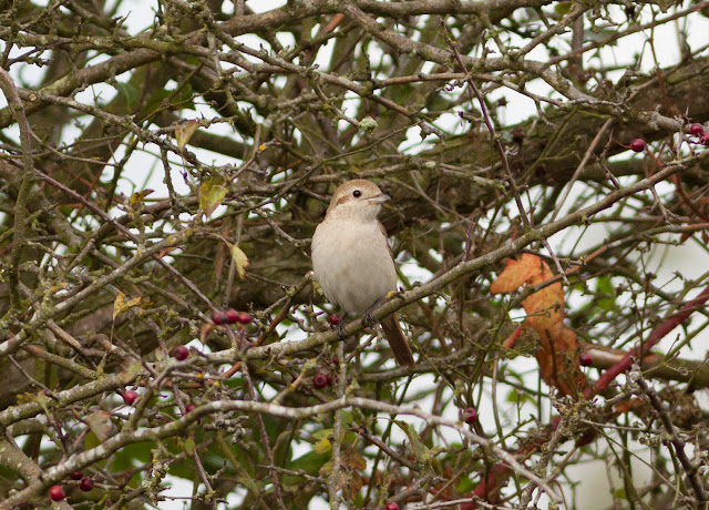 Isabelline Shrike, Norfolk