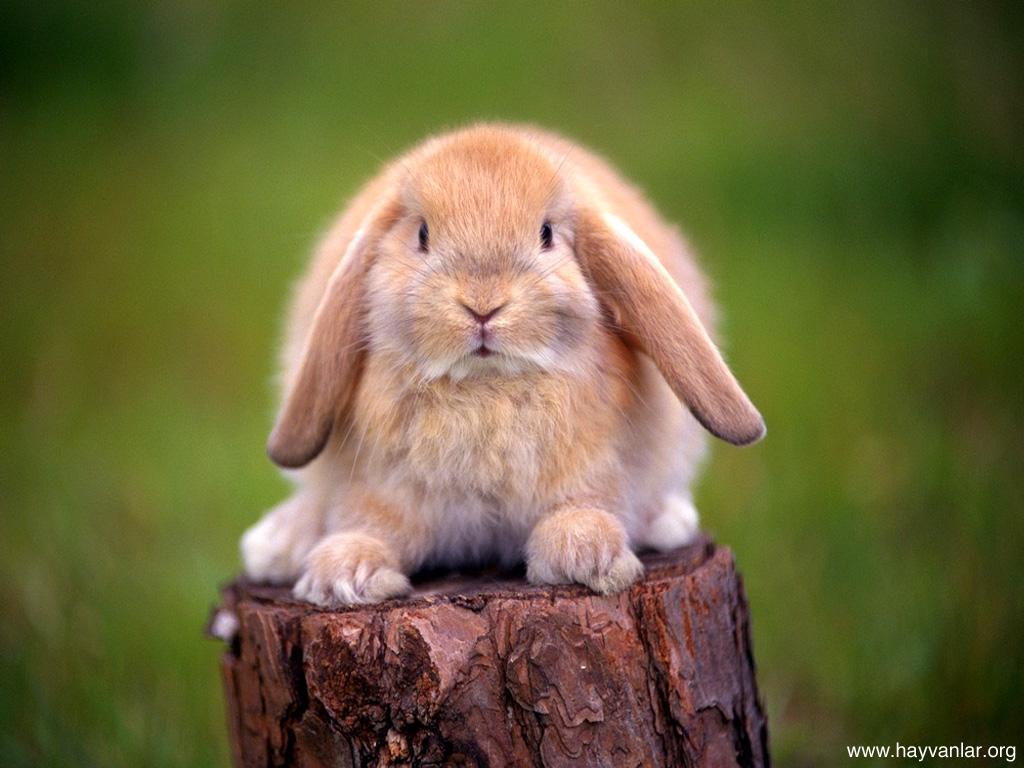 Tavşan haşlanmış