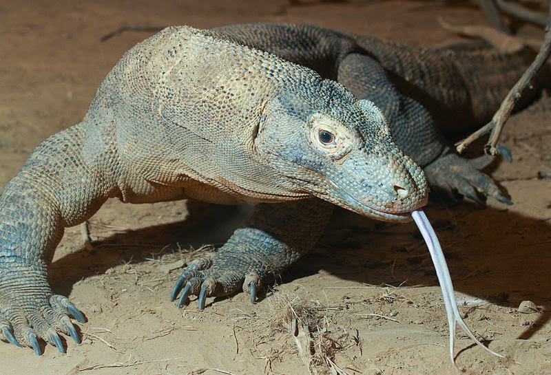 Image showing the long, forked tongue komodo dragons have