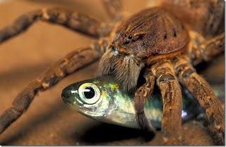 Labah-labah tangkap, makan ikan