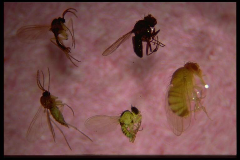 pomelo fruit gnat vs fruit fly