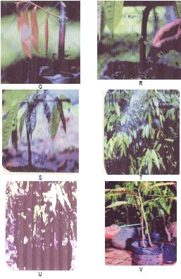 Q. Tunas baru tumbuh dan berkembang, R. Mengendalikan gulma OPT selama pemeliharaan tunas baru, S. Daun tunas muda bertambah, T. Dari tunas muda tumbuh ranting serta daun baru, U. Bibit hasil okulasi dipelihara secara kontinu, V. Bibit siap dipasarkan.