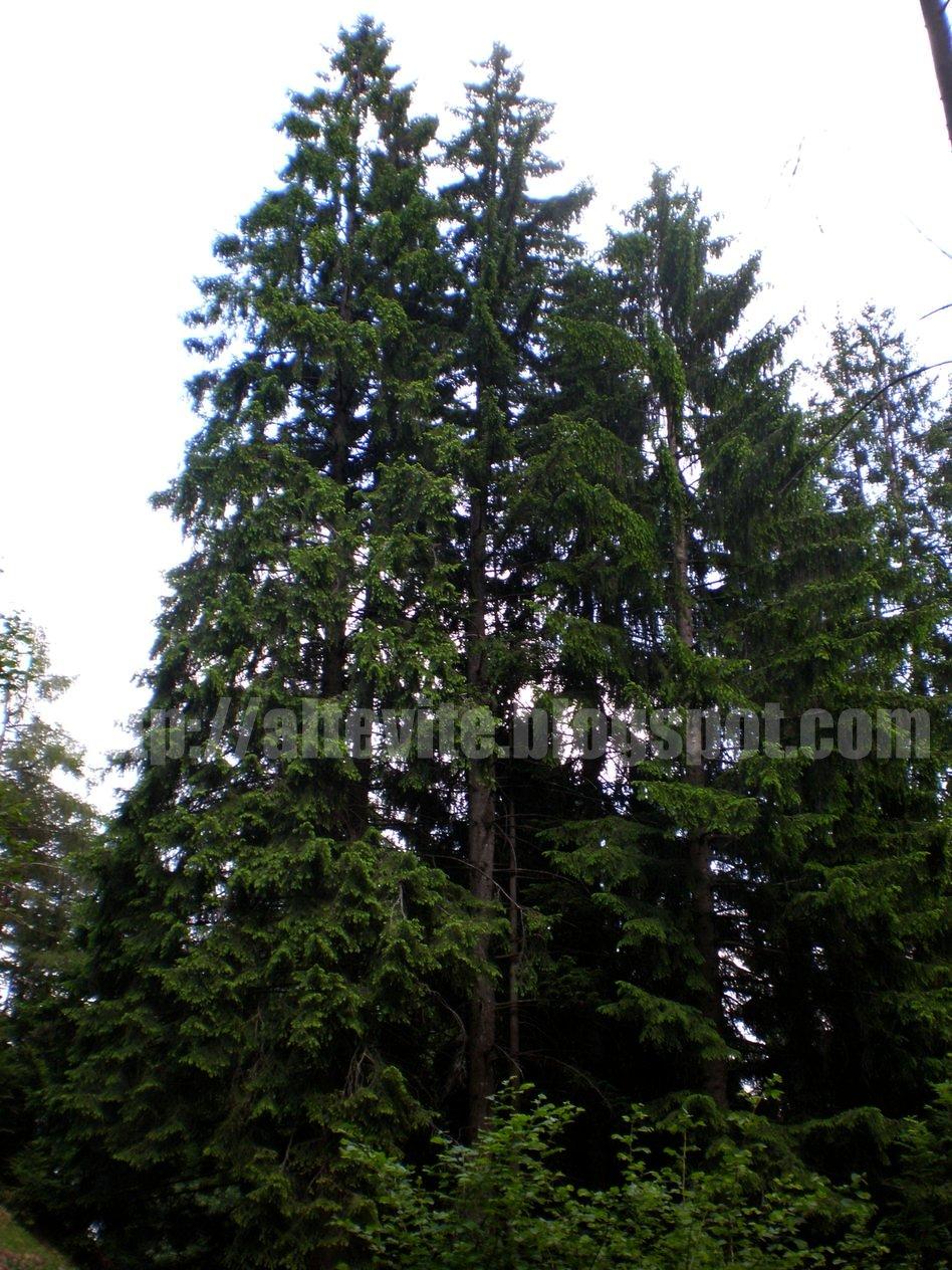 Piccolo atlante degli alberi di montagna altevite for Alberi alto fusto nomi