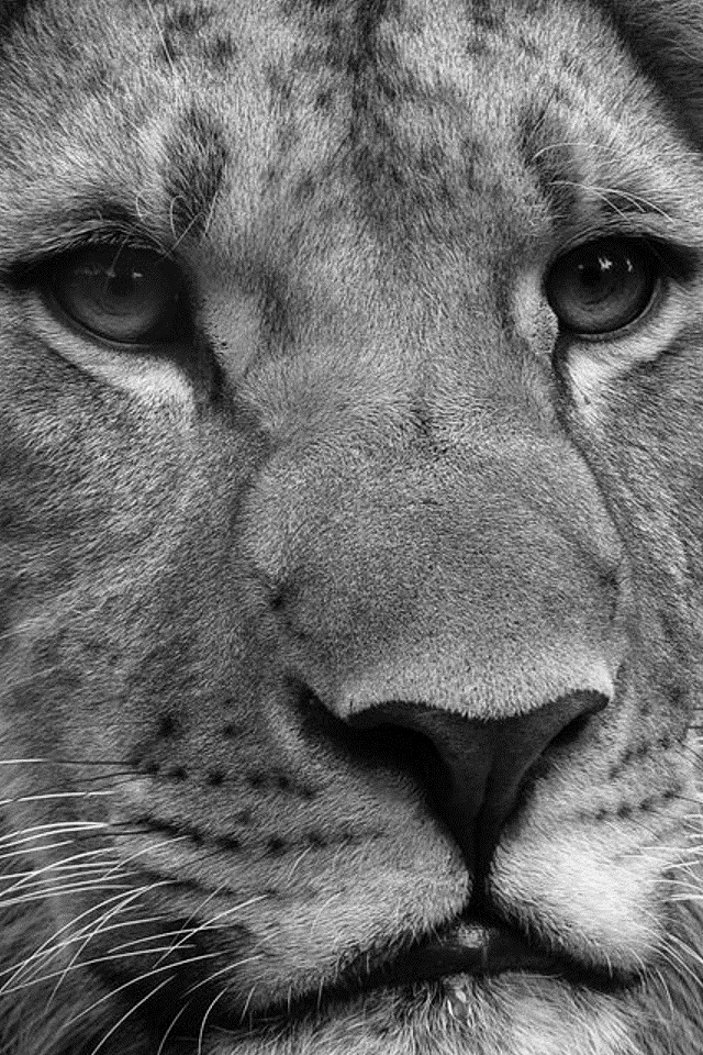Lion black and white iphone wallpaper - photo#1