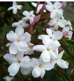 Jasmine flowers image