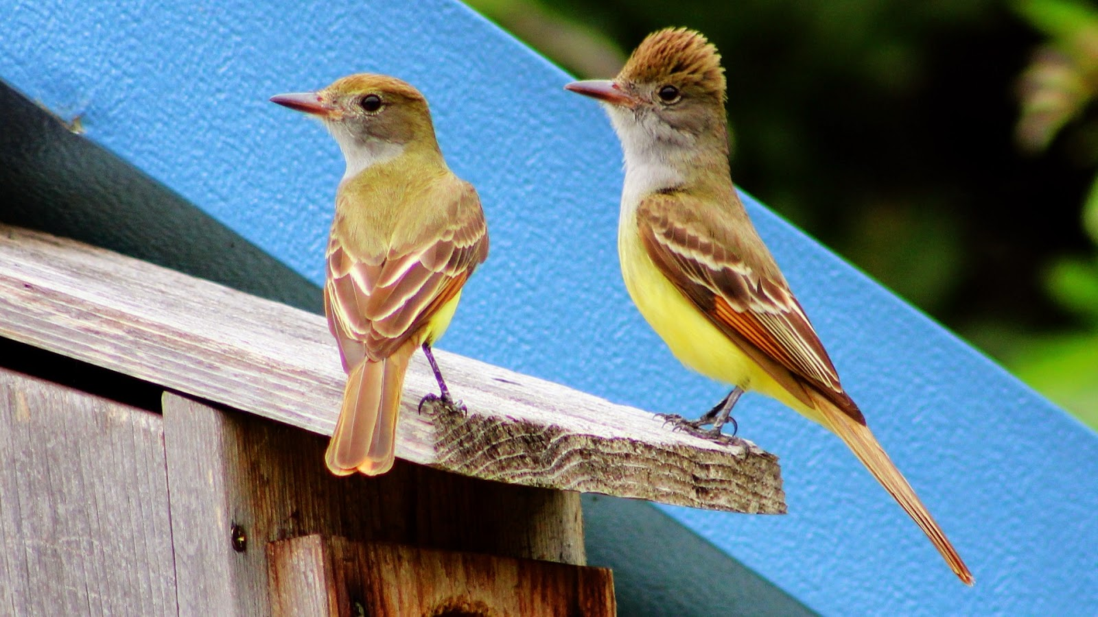 Great Crested Flycatcher Mating Pair