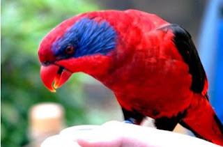 Beberapa Jenis Burung Nuri Yang Terancam Punah