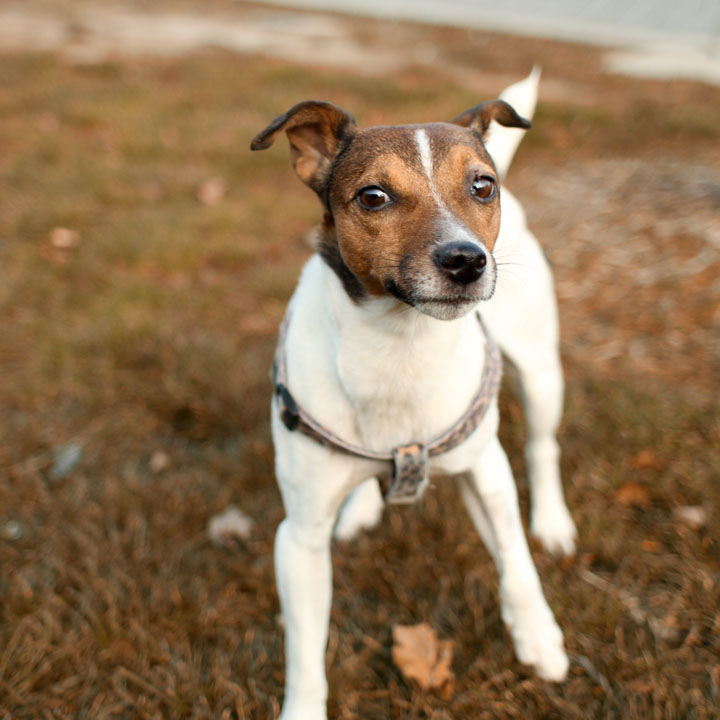 Unnamed jack russell terrier
