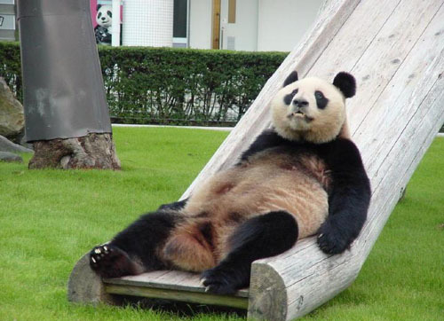 Funny panda pictures funny animal funny panda pictures voltagebd Choice Image