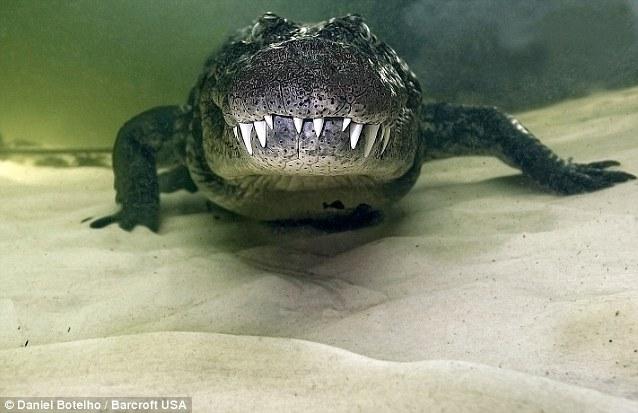 Tangkap gambar buaya depan muka dalam air