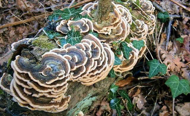 wooden fungus rotting wood woodland beauty