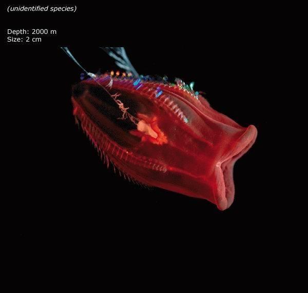 Mariana trench - unidentified species