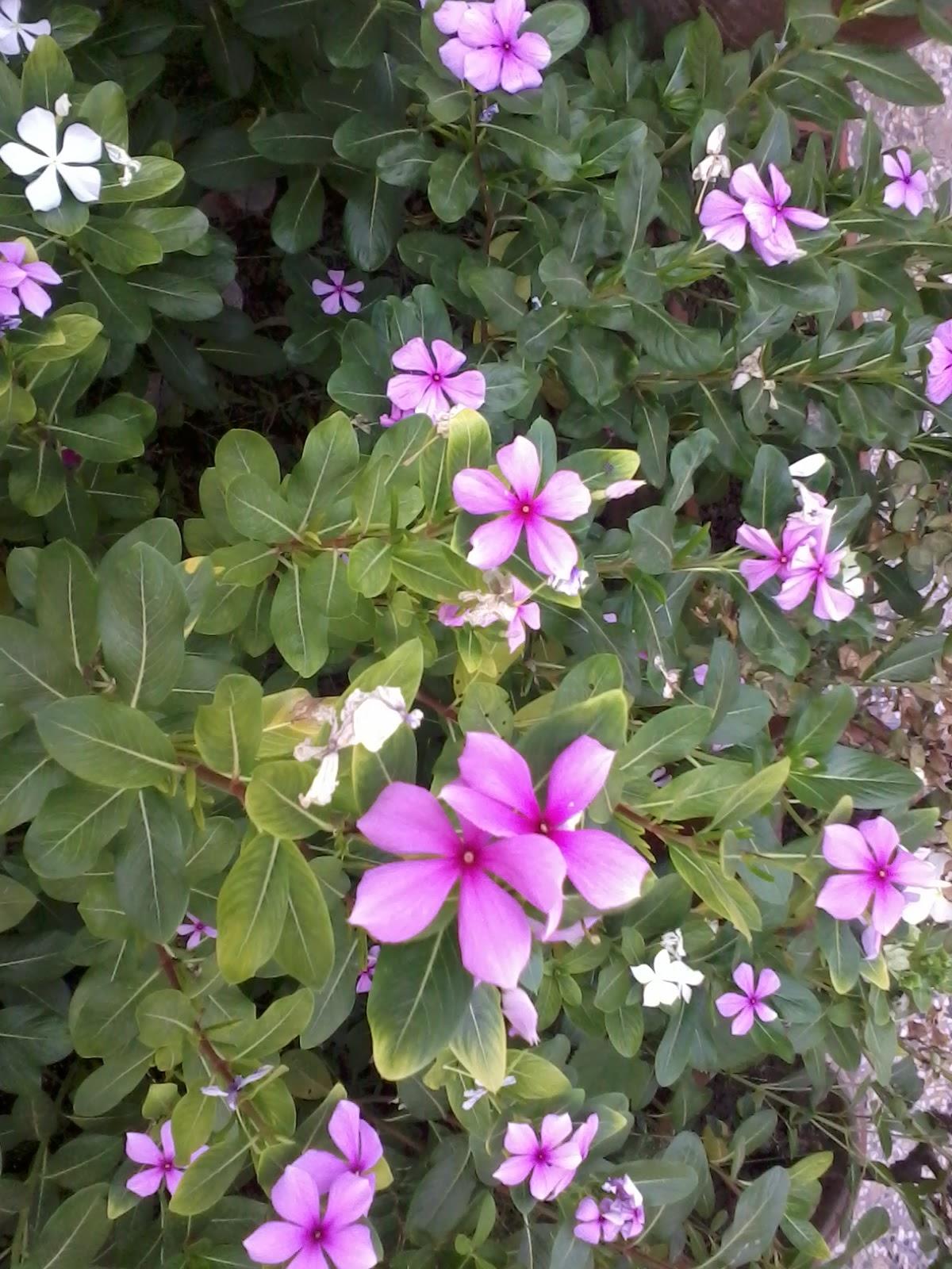 Isloo Garden Vinca Rosea